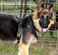 German shepherd puppy dog harness- leather padded dog harness