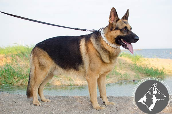 German Shepherd leather collar with rust-proof spikes for walking