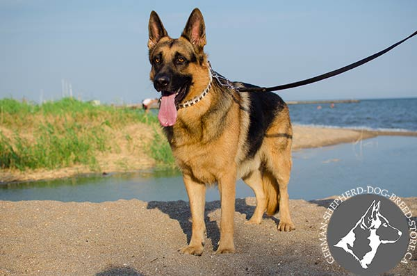German-Shepherd leather collar of high quality with studs for stylish walks