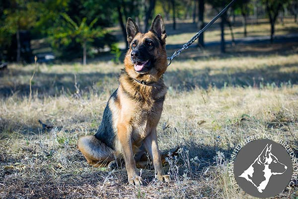 German Shepherd leather collar of high quality adorned with plates for any activity