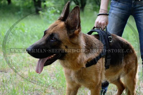 Comfortable Pulling Harness On German Shepherd Dog